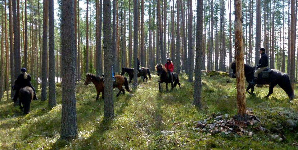 Icelandic horses in a Finnish forest.