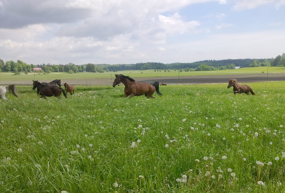 Grazing horses (photo: ©Mari Luukkonen)