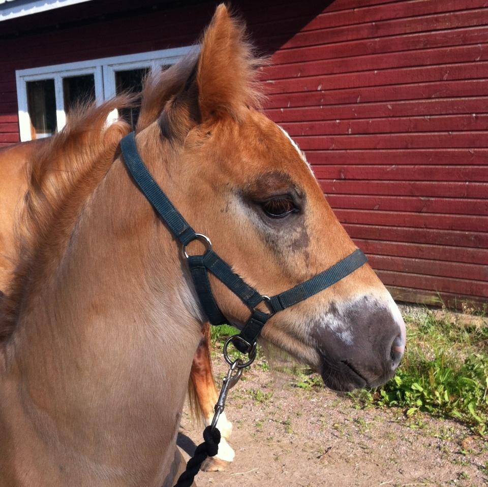 A Finnhorse foal (photo: ©Mari Luukkonen)